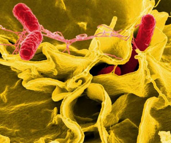 Bakteria Salmonelli Fot. Udostępniona przez CDC