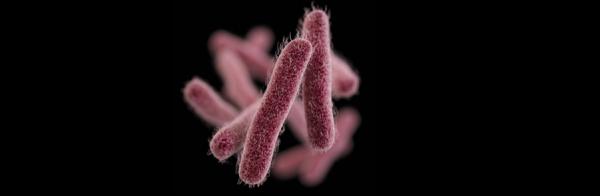 Bakteria Shigella Fot. Udostępniona przez CDC